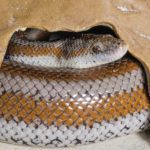Are Rosy Boas Easy to Take Care Of?