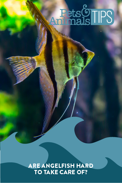 Are Angelfish Hard to Take Care of