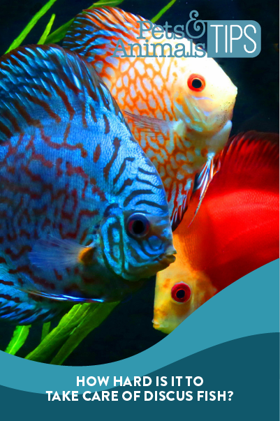 How-Hard-Is-It-To-Take Care Of Discus Fish