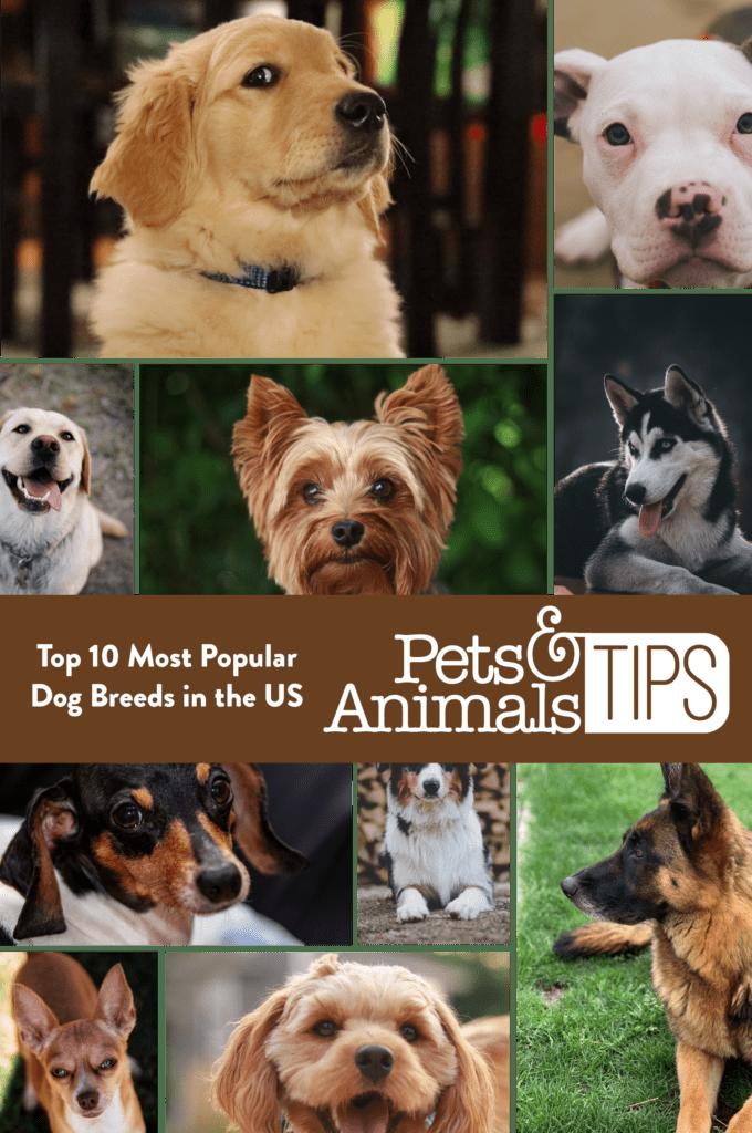 Top Ten Most Popular Dog Breeds in the US