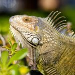 The Most Popular Types of Pet Iguanas