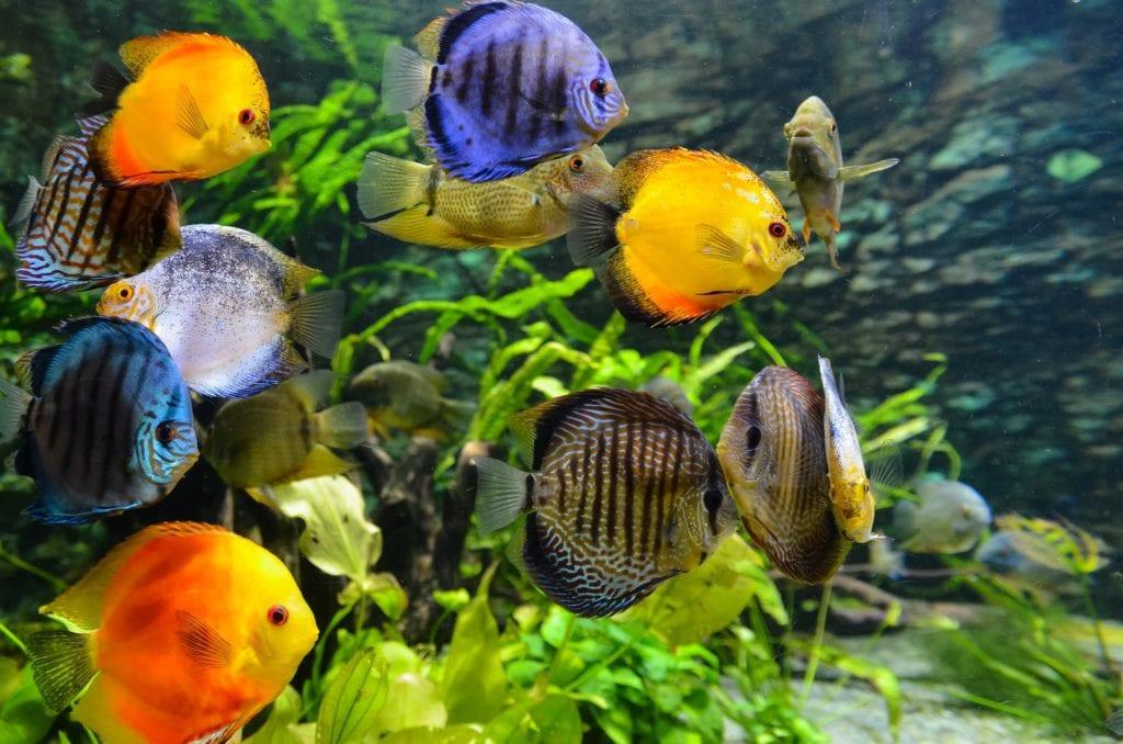 Discus Fish Group