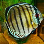 Can You Keep Discus Fish in a Community Tank?