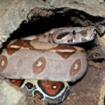 Basics of Red Tail Boa Care