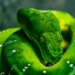 Are Emerald Tree Boas Good Pets?
