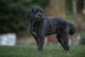Black Poodle standing in field