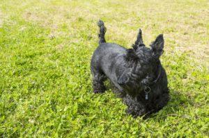 Scottish terrier or Scottie dog in field