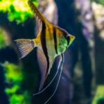 Are Angelfish Hard to Take Care of?