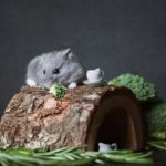 How to Choose the Best Dwarf Hamster Cage