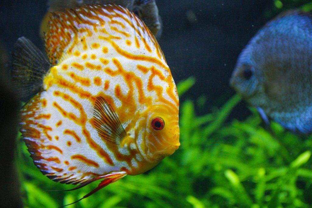 Discus Fish Pair
