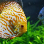 How Hard is It To Take Care of Discus Fish?
