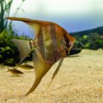 How Big Do Angelfish Get and How Long Do They Live?